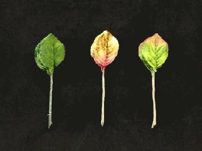 ER 362 Velvet Rose Leaf /10