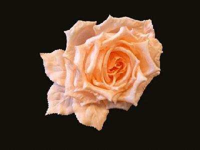 GFX 25 Silk Rose on clip